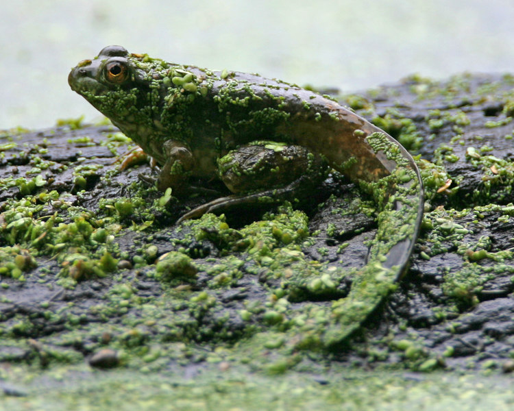 Green Frog with long tail, Dobbs Park, July 22, 2006