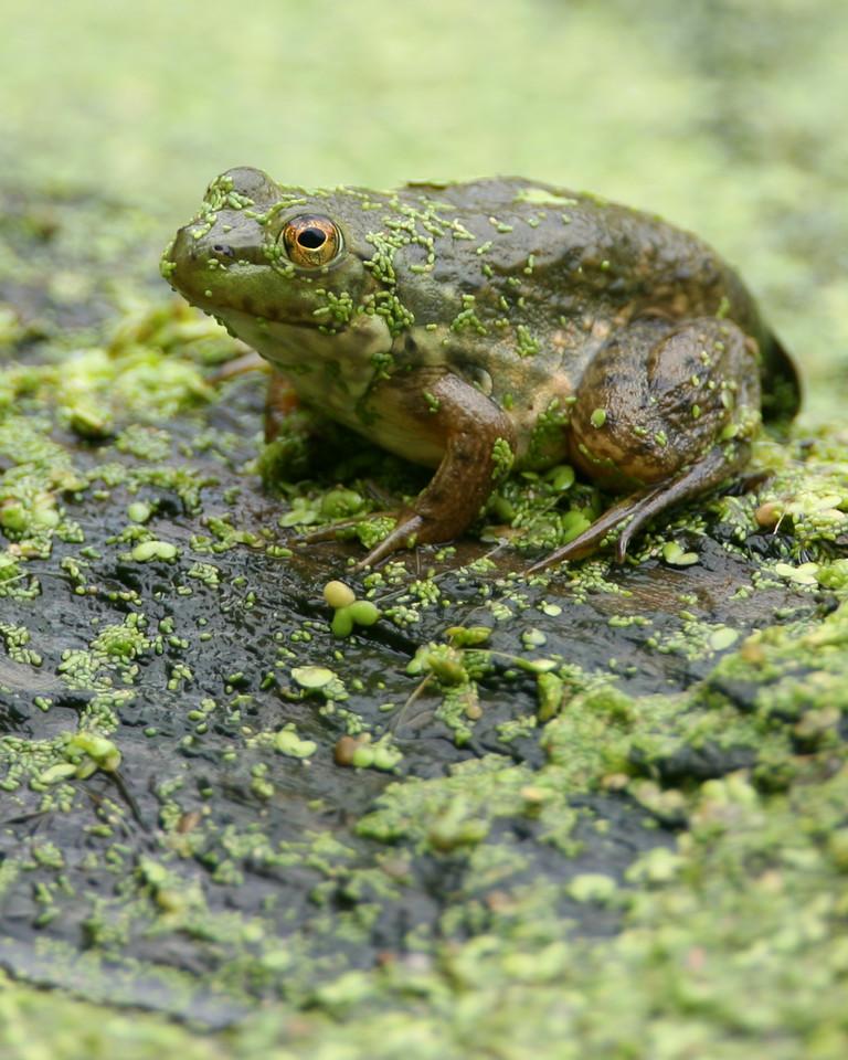 Green Frog, Dobbs Park, July 22, 2006