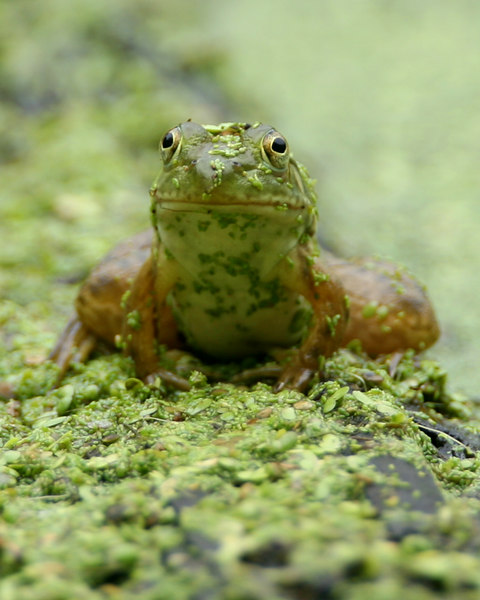 Green Frog, Dobbs Park, July 22, 2006