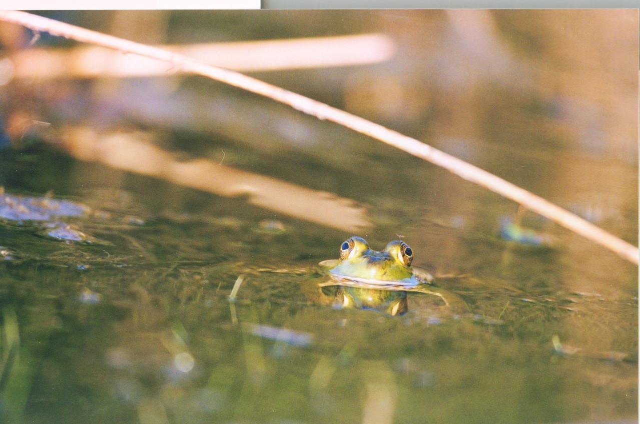 Green Frog at Winamac State Fish and Wildlife Area, Winamac, Indiana.
