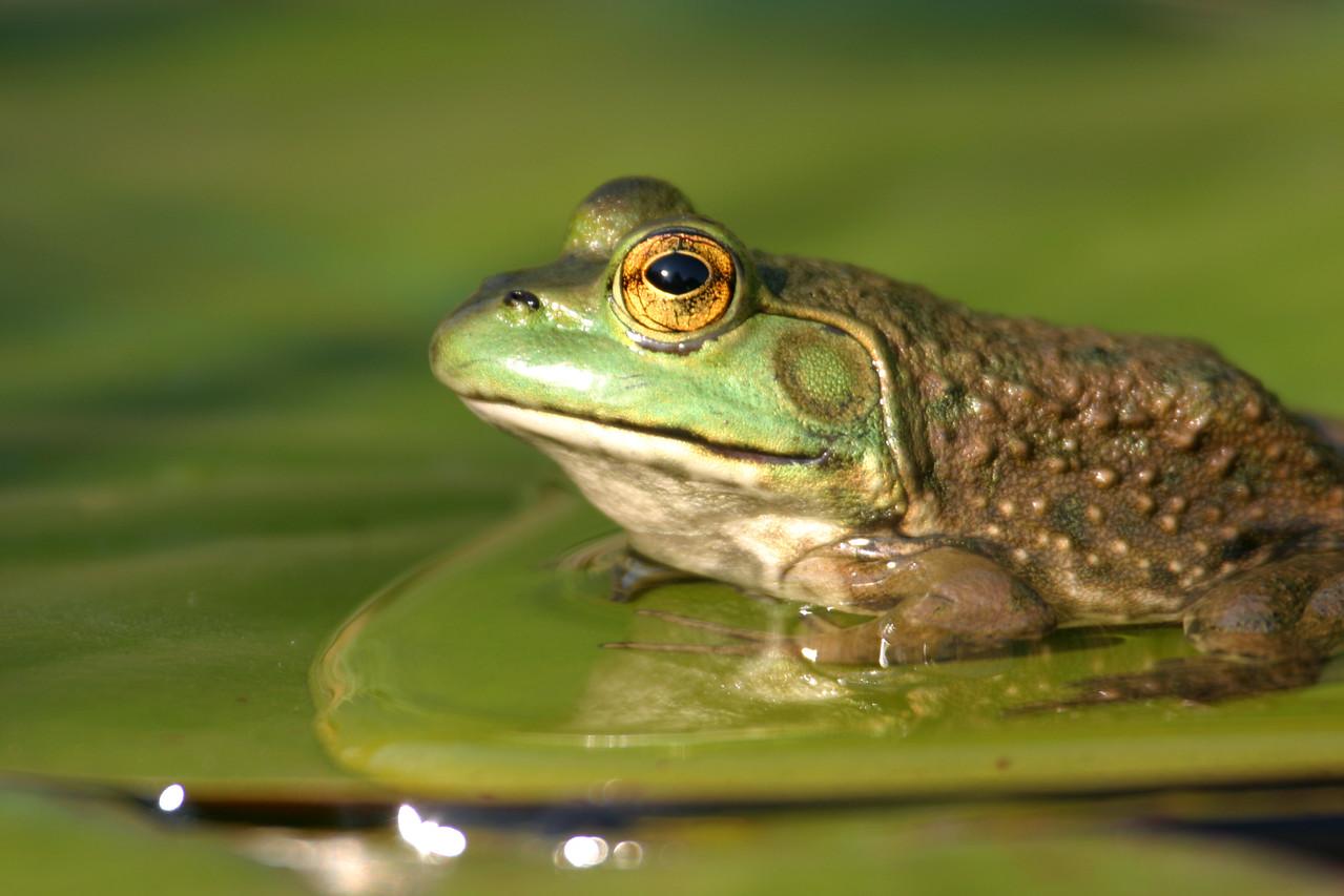 Bullfrog, May 2005