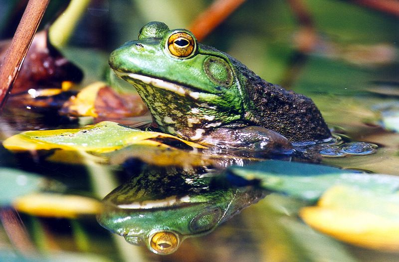 Bullfrog, Dad's pond, Terre Haute, Indaina, July 2003