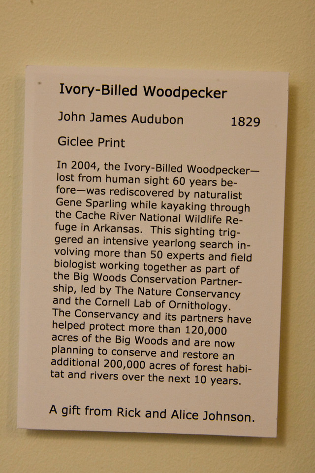 "See next photo for ""Ivory-Billed Woodpecker print."