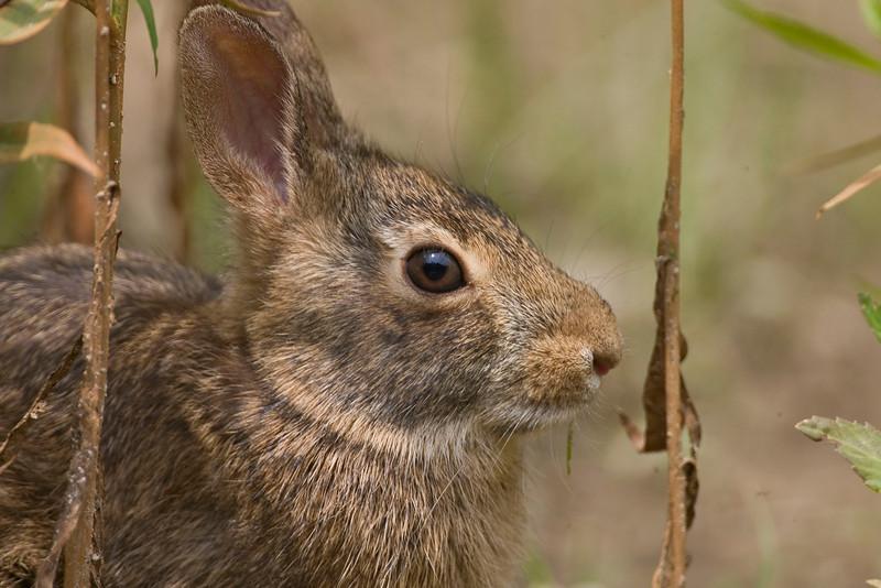 Rabbit, Vigo County, Indiana, June 2009.