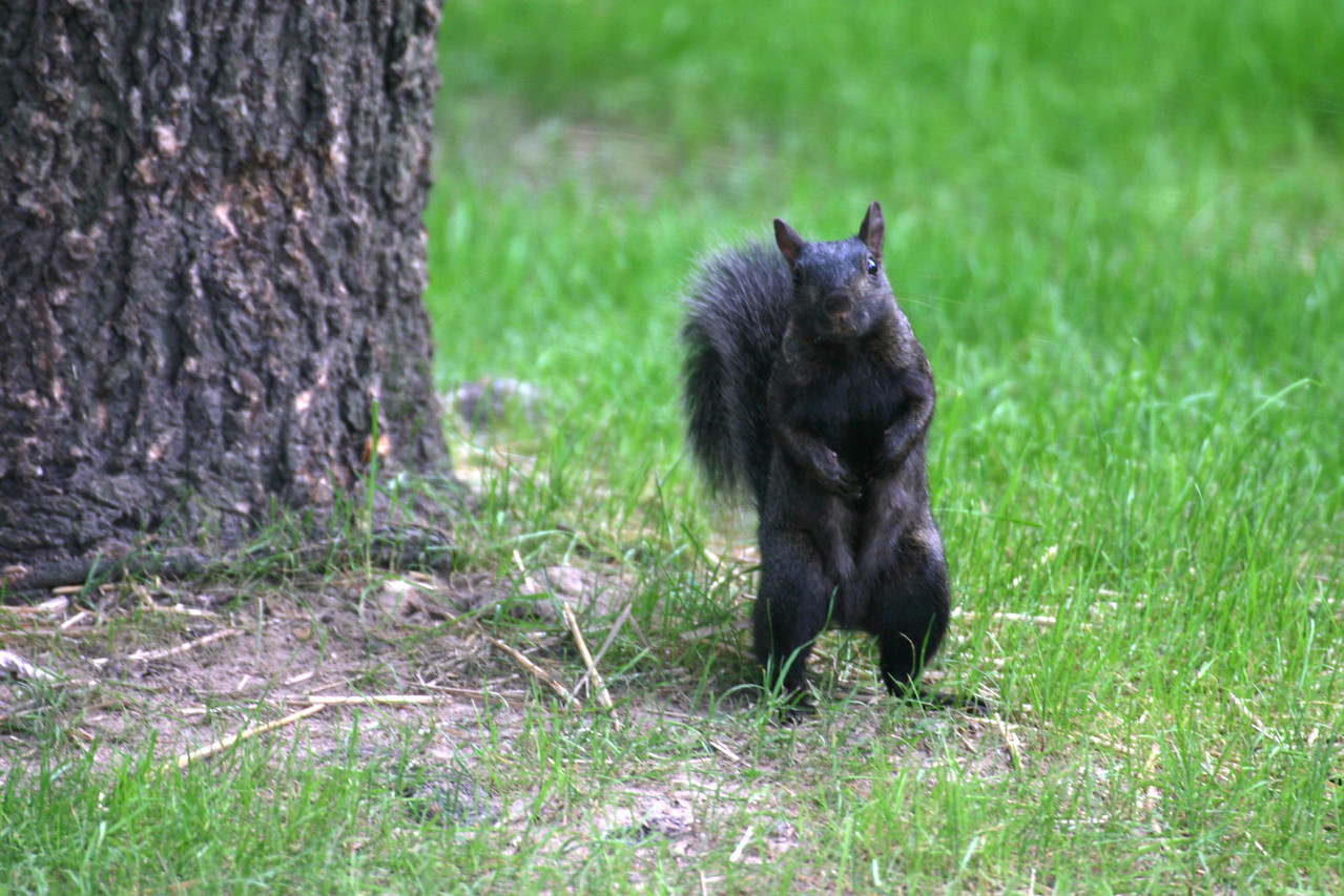 Black Squirrel on the Courthouse Square in Goshen, Indiana.