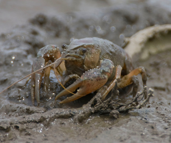 Crayfish in the Wabash River Bottoms at Kinnet and Arbuckle Roads, Vigo County, June 8, 2009.