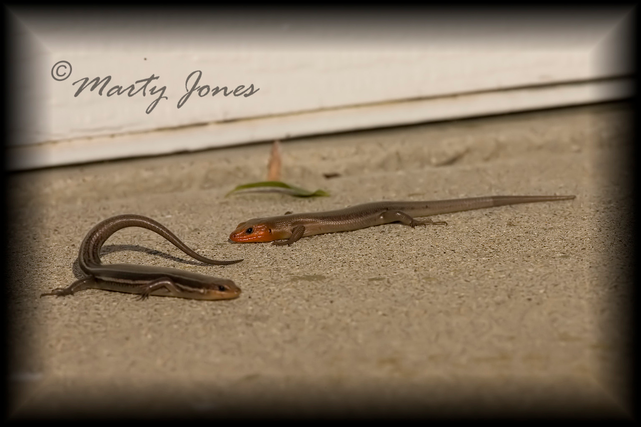Five-lined Skink, Vigo Co., IN June 2008.