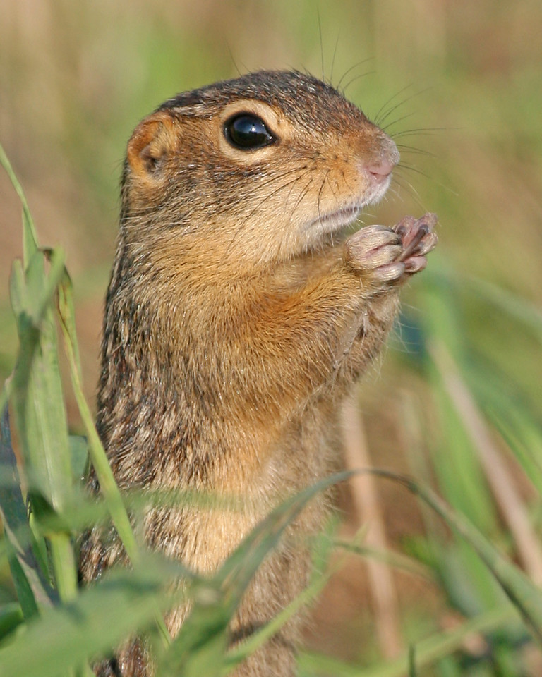 "Thirteen-lined Ground Squirrel, aka ""Striped Gopher"".  As its name implies, it possesses 13 stripes extending from the shoulder to the tail on each side and back.  The common Eastern Chipmunk is often confused with this ground squirrel.  Photographed at CR 500 S 450 E in Porter County, Indiana, Sept 5, 2006."