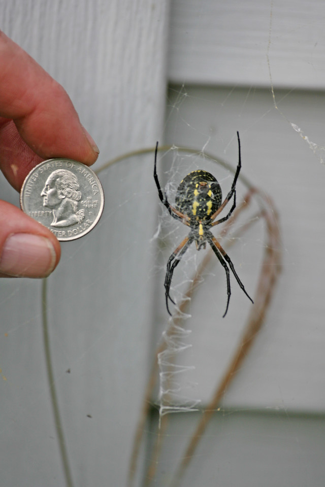 "The black-and-yellow argiope is a particularly attractive and large species of orb-weaving spider. It is also known as the yellow garden argiope and the ""writing spider"". Orb weaver spiders are some of our more conspicuous spiders. Many people think of a typical orb weaver web when they think of a spider."