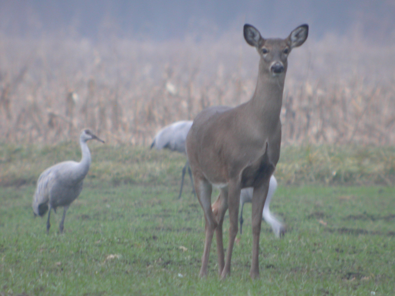 Young doe and sandhill cranes at Jasper-Pulaski Wildlife Refuge.