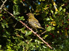 Greenfinch (Carduelis chloris). Copyright 2009 Peter Drury<br /> This bird has been making a meal of blackberries. Its beak has been stained as a result.<br /> Southmoor
