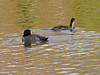 Coot (Fulica atra). Copyright Peter Drury 2009<br /> Adult and Juvenile