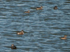 Ducks at Budds Farm. Copyright 2009 Peter Drury<br /> A group of Shovelers with a solitary Pochard female (lower left). The Pochard arrive at the lagoon in Sept and will over-winter here. They are resident all the year round but their numbers are increased by birds arriving from the NE and E.