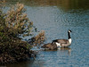 Canada Goose (Branta canadensis). Copyright 2009 Peter Drury<br /> The Canada Geese have arrived back in Budds Farm Lagoon. They will probably stay until chased off by the resident pair of swans next spring.