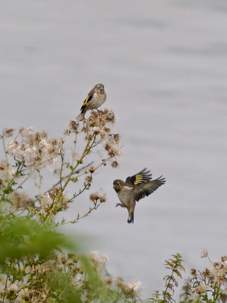 Goldfinch (Carduelis carduelis). Copyright Peter Drury 2010