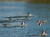 Ducks in flight at Budds Farm. Copyright 2009 Peter Drury<br /> Mallard landing in the East of the lagoon.