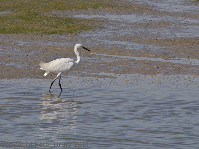 02 Oct 2011 Little Egret at Farlington Marshes.