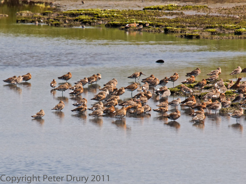 01 Aug 2011. Black-tailed Godwit at Farlington Marshes.<br /> A large flock has returned early from their summer quarters in Iceland. Some are still in their breeding plumage.
