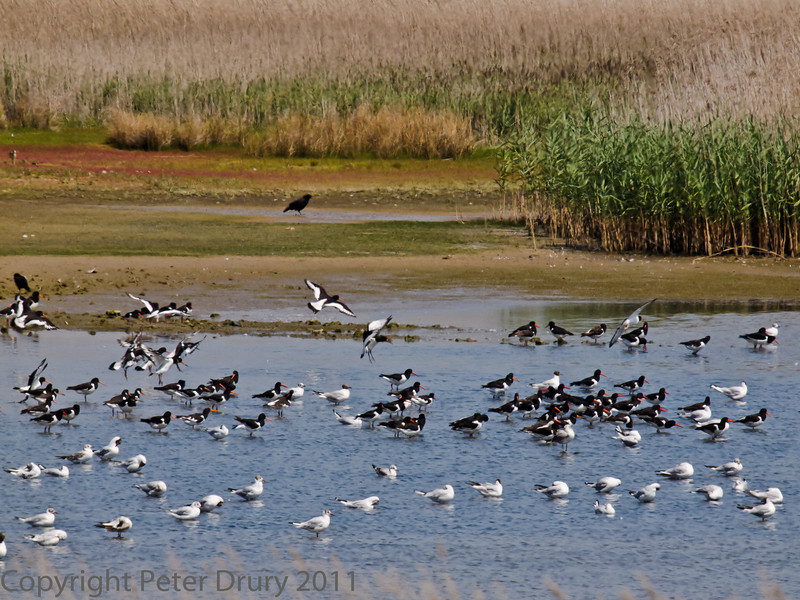 01 Aug 2011. In the space of 5 minutes, 3 flocks of Oystercather arrived from the flooding harbour. They use the marshes as a high watr roost. The numbers have increased with the arrival of birds using the harbour as winter quarters.