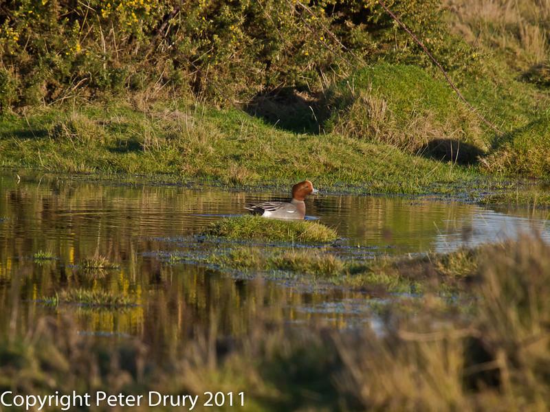 Widgeon at Farlington Marshes (Male). Copyright Peter Drury 2011