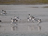 Avocet (Recurvirostra avosetta). Copyright 2009 Peter Drury<br /> They decide it is time to go and fly the short distance to Farlington Marshes.