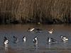 Avocet (Recurvirostra avosetta) and Black-tailed Godwit (Limosa limosa). Copyright 2009 Peter Drury<br /> Farlington Marshes, langstone Harbour