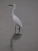 Little Egret. Copyright 2009 Peter Drury