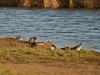 Teal roosting on the bank whilst Moorhen busy themselves feeding. Copyright 2009 Peter Drury