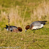 Widgeon at Farlington Marshes (Males). Copyright Peter Drury 2011
