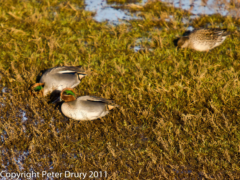 Teal feeding behind the reedbed to the south of the lake on Farlington Marshes. Copyright Peter Drury 2011