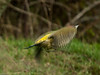 Green Woodpecker (Picus viridis). Copyright 2009 Peter Drury<br /> These birds are very timid and will fly off usually well before you get close. The flight is a rapid burst of wing beats, a closed wing glide where obviously height is lost, followed by another rapid burst of wing beats. In flight photography is difficult. Whilst this is far from a good image, I have kept it because it displays this movement at take-off and also shows the yellow rump which is all you normally see when the bird flies off in the distance!