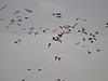 Brent Goose flock over Farlington Marshes. Copyright 2009 Peter Drury
