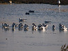Avocet (Recurvirostra avosetta). Copyright 2009 Peter Drury<br /> Farlington Marshes, langstone Harbour