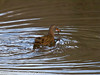 12 Dec 2010 - Water Rail at Farlington Marshes. Copyright Peter Drury 2010. From RAW file