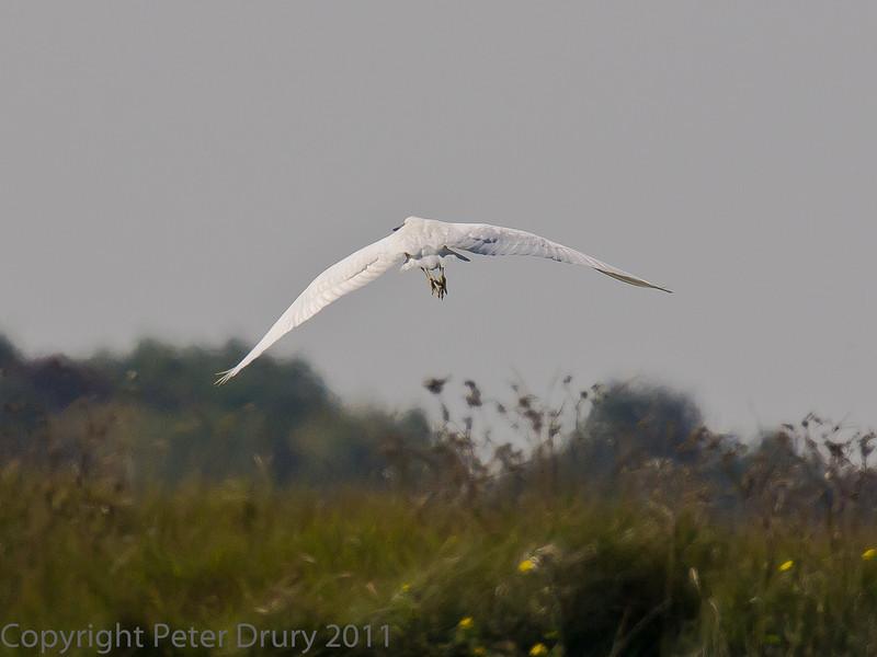 02 Oct 2011 Little Egret at Farlington Marshes