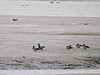 Brent Geese and Avocet feeding on the mud flats. Copyright 2009 Peter Drury