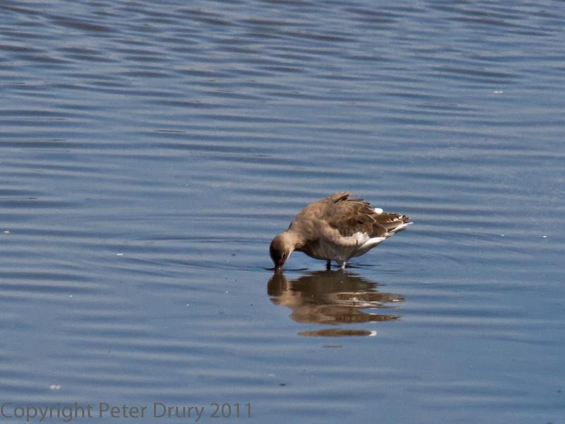 01 Aug 2011. Black-tailed Godwit at Farlington Marshes.