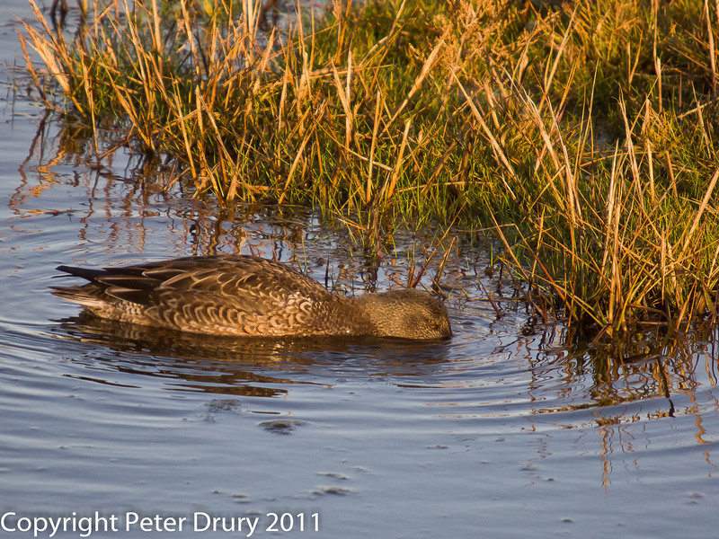 Shoveler at Farlington Marshes. The low sun has affected the colour of the brown plumage. Copyright Peter Drury 2011