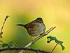 Dunnock (Prunella modularis). Copyright 2009 Peter Drury