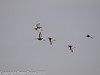 13 Dec 2010 - Black-tailed Godwit at Farlington Marshes. Copyright Peter Drury 2010. From RAW file