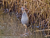 13 Dec 2010 - Water Rail at Farlington Marshes. Copyright Peter Drury 2010. From RAW file<br /> ISO 1600, Sigma 50-500, fl=500mm, Shutter 1/125s, Aperture f6.3
