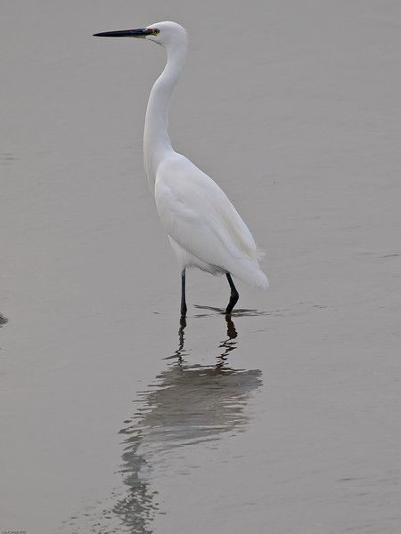 Little Egret (Egretta garzetta). Copyright 2009 Peter Drury