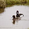 25 February 2011. Tufted Ducks at Farlington Marshes. Copyright Peter Drury 2011