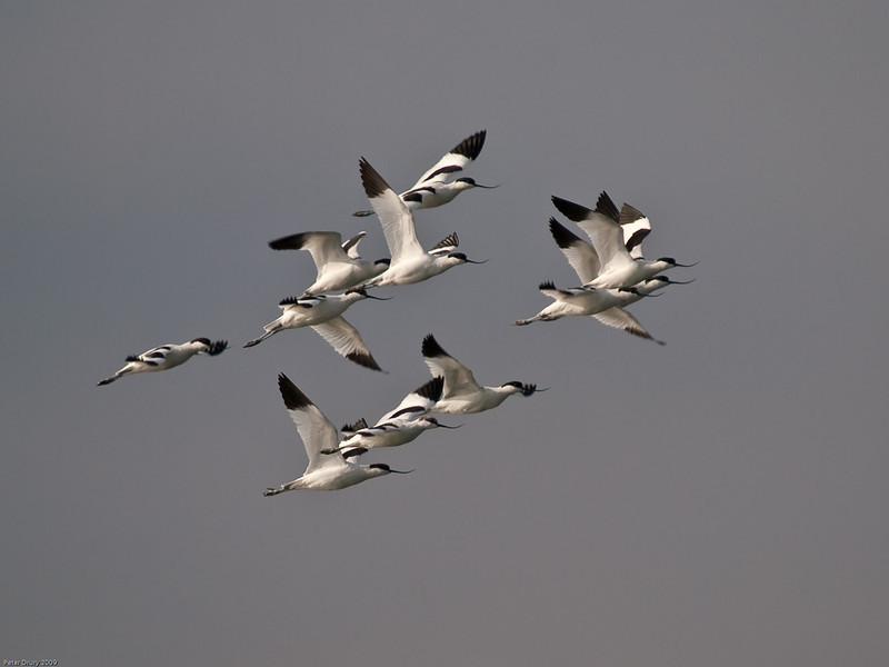 Avocet (Recurvirostra avosetta). Copyright 2009 Peter Drury<br /> The flock of Avocet have arrived in Langstone Harbour again. They will over-winter here. The birds were feeding on the mud flats in the harbour. As the tide comes in they took off and flew to the refuge of Farlington Marshes.