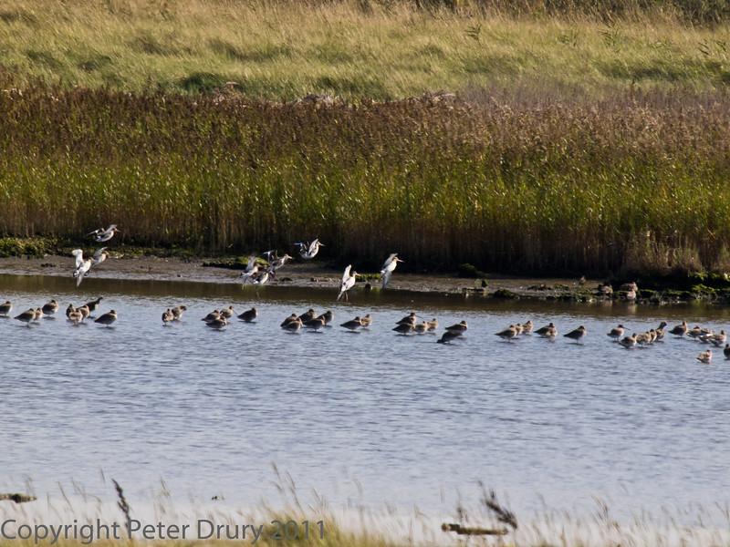 02 Oct 2011 Black-tailed Godwit returning to the lake at Farlington Marshes as the incoming tide floods the harbour.