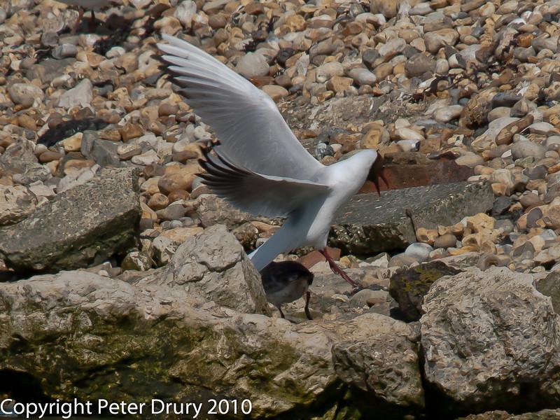 Juvenile gull too close to gull chicks #4. Copyright Peter Drury 2010