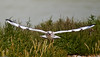 Black-headed Gull (Larus ribibundus). Copyright 2009 Peter Drury<br /> Converted to 'pano' at the suggestion of Colin Key.