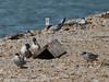 Common Tern. Copyright Peter Drury 2010