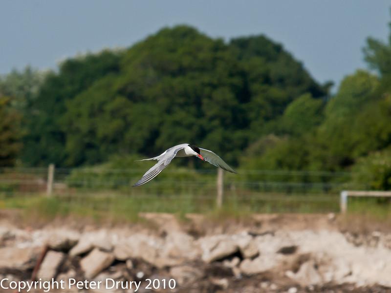 Common Tern in flight. Copyright Peter Drury 2010