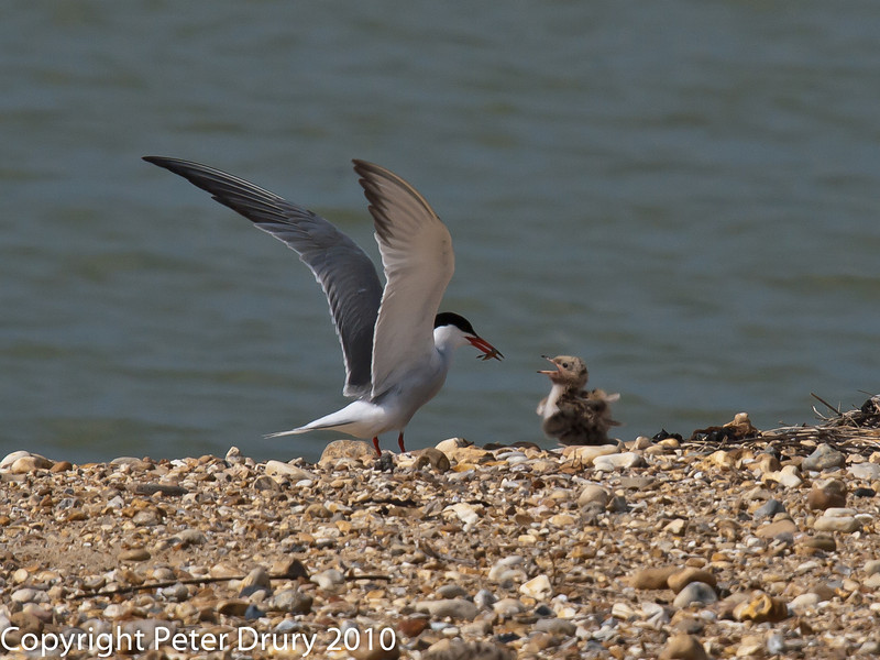 Common Tern (Sterna hirundo).  This lucky youngster is about to receive a meal. Copyright Peter Drury 2010
